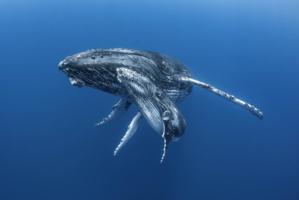 """""""Dans l'intimité des baleines"""" : un superbe livre à précommander"""