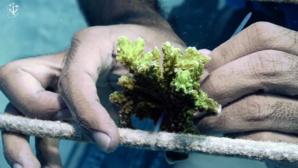 La réimplantation du corail