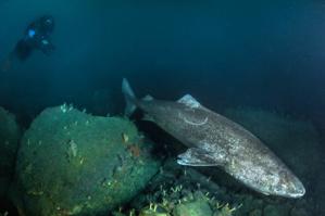Rencontre avec le requin du Groenland