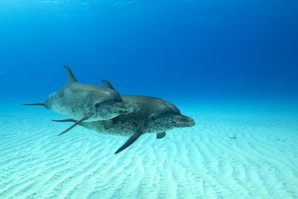 Les Bahamas : une des plus belles destinations au monde pour plonger avec les dauphins !