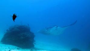 """Le célèbre site de plongée """"Manta Sandy"""""""